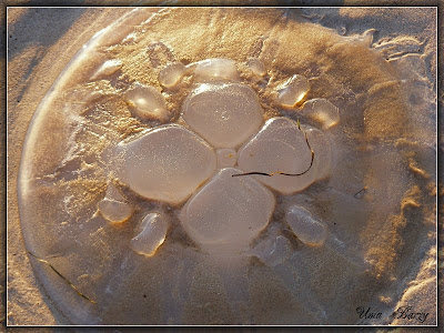 медуза на песке, Medusa