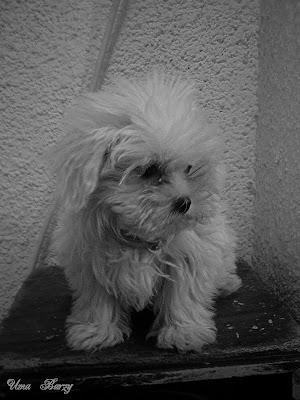 собака,лохматая собачонка