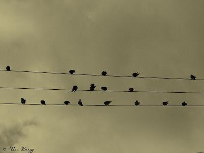 птицы на проводах, птичий нотный стан