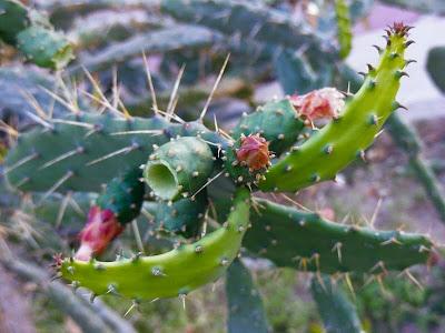 плоды кактуса, Uma Barzy