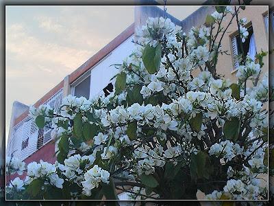 белая баухиния