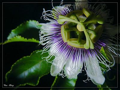 цветок пасифлоры