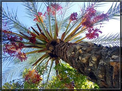 лохматая пальма