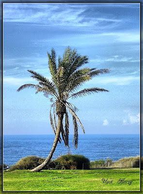семена пальмы