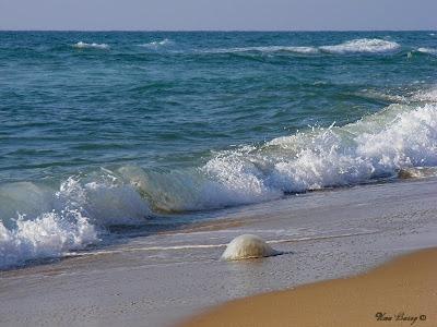 медуза на берегу