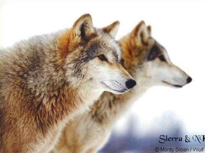 狼の画像 p1_18