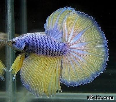 Betta fish for Purple betta fish