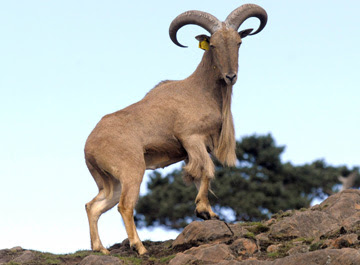 dad  a barbary sheep