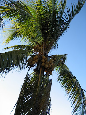 palm dates tree. My knowledge of palm trees