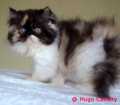 Goleoo - Gambar - jenis kucing anggora
