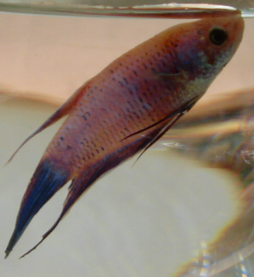 Fishdoctor velvet disease for Can you use distilled water for betta fish