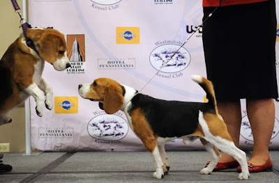Watch the 2009 Westminster Dog Show at Madison Square Garden with a live TV telecast by USA Network and CNBC.