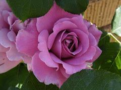 Rose Julia