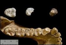 La maxillaire de  Chororapithecus abyssinicus découverte en Ethiopie en 2007 par des chercheurs du musée de l'Université de Tokyo et du Rift Valley Research Service d'Addis Abeba.