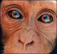 Le bébé chimpanzé Nani est un des nombreux orphelins qui fut abandonné par les braconniers après avoir massacré toute sa famille pour en faire de la 'viande de brousse'. Nani est aujourd'hui élevé à l'Institut Jane Goodall en attendant sa réinsertion dans les forêts du Sud du Congo.