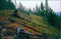 Une partie du site d'impact tel qu'il était en 1990. Les arbres abattus en 1908 sont toujours présents. Document U.Bologne.