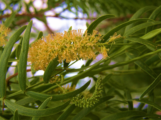 THE BEAUTIFUL FLOWER OF THE MESQUITE TREE & 'PODS'.  LAUGHLIN