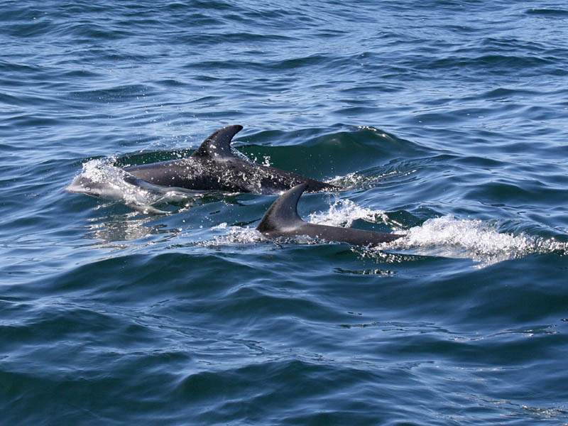 Five Star Whale Watching: Pacific White-sided Dolphins off ... - photo#36