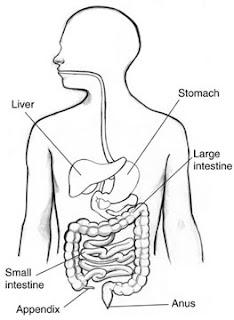 Illustration of the digestive tract, showing the location of the stomach.