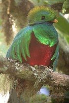 Resplendent Quetzal