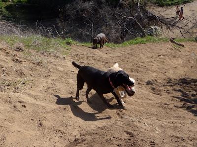 Labrador fun at Runyon Canyon