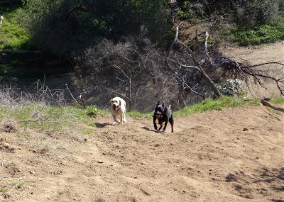 Labradors chasing balls