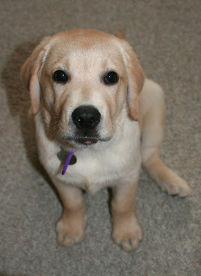 Yellow Labrador 10 weeks Cooper