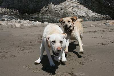 Yellow Labrador fun