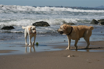 Beach yellow Labradors