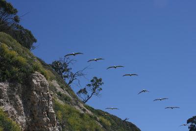 Pelican's over Hendry's Beach
