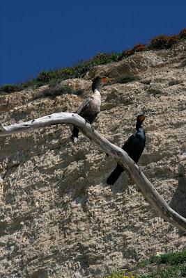 Santa Barbara birdlife