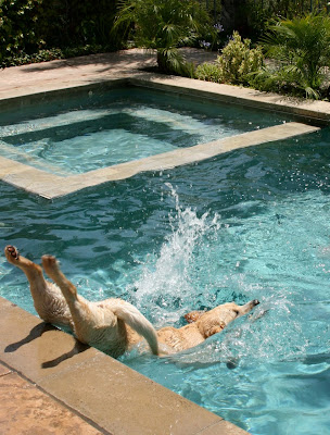 Labrador Cooper bellyflops into the pool