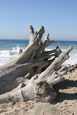 Sycamore Cove sunbleached tree