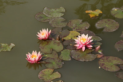 Chinese Garden water lilies