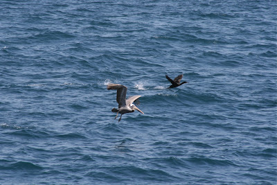 Pelican and cormorant over Pacific Ocean
