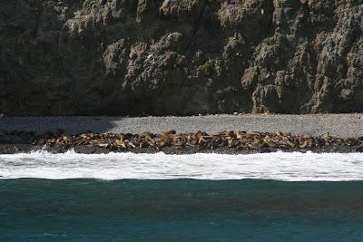 Anacapa Island sea lions