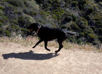 Black Labrador Tikka