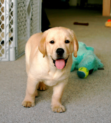 Puppies on Yellow Lab Puppies Pictures