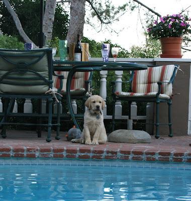 9 week old Cooper poolside