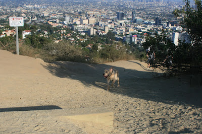 Cooper running up the hill on his first Runyon Canyon walk