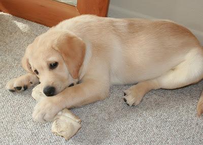 10 week pup and his rawhide bone