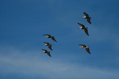 Six pelicans soaring
