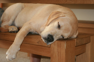 Sleeping puppy on bench