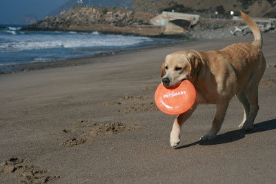 Beach puppy playing with his frisbee