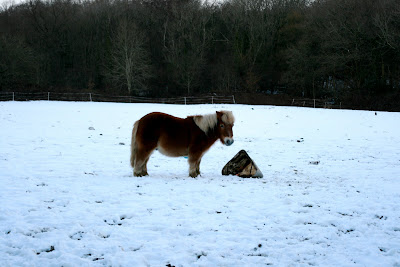 Shetland pony in the snow