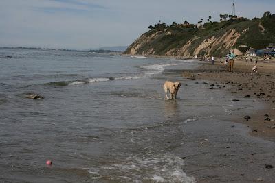 Pup enjoying Arroyo Burro Beach