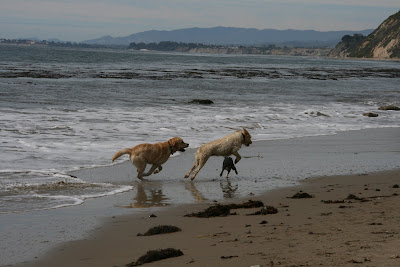 Puppy play at Arroyo Burro Beach