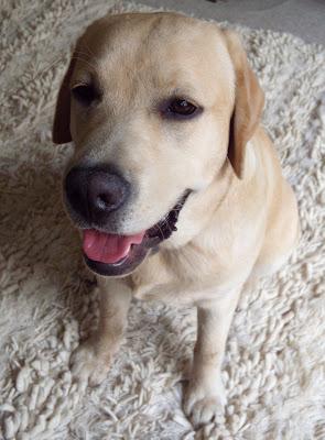 Labrador Cooper at 9 months