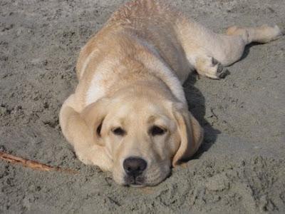 Yellow Labrador pup Maddie
