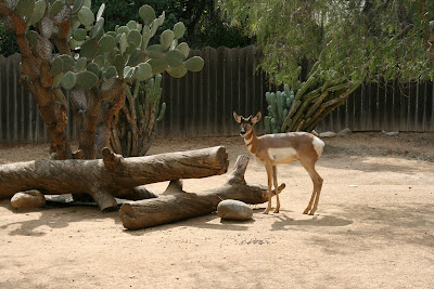 Antelope at LA Zoo